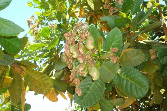 Cashew Tree And Its Fruit Picture Of Serene Ravine