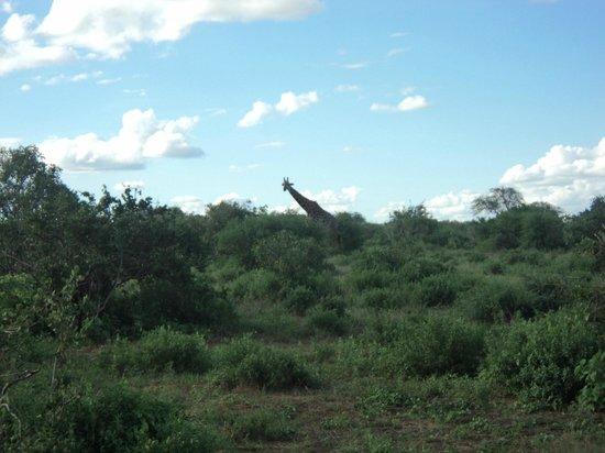 Bruno Safaris - Day Tours: giraffe
