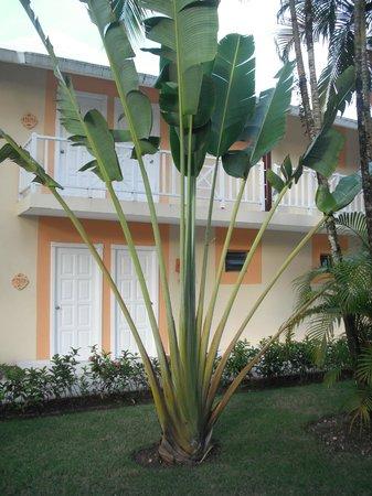 Grand Bahia Principe San Juan: beautiful trees amazing palms