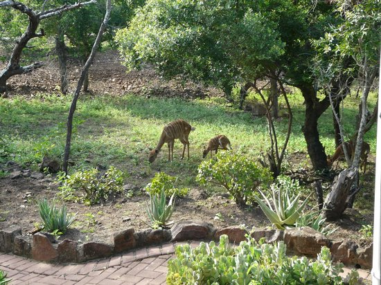 Zulu Nyala Game Lodge: Nyala grazing outside our room
