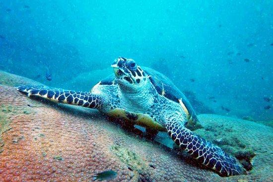 Pattaya Dive Centre: Sea Turtle (Pattaya Near Islands)