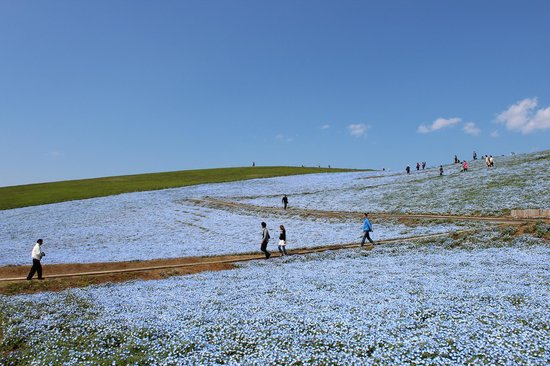 Hitachi Seaside Park : 風景