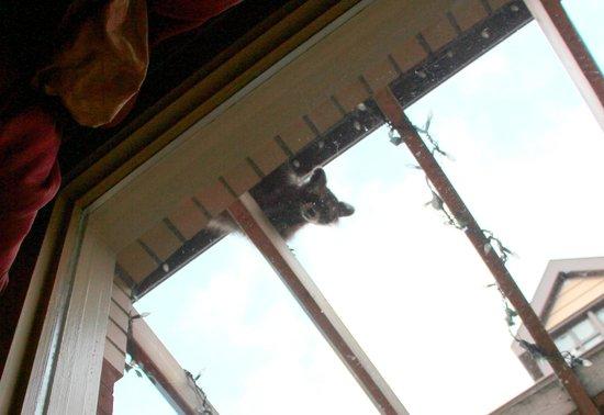 Paradiso Restaurant: Found a peeping Raccoon outside window.