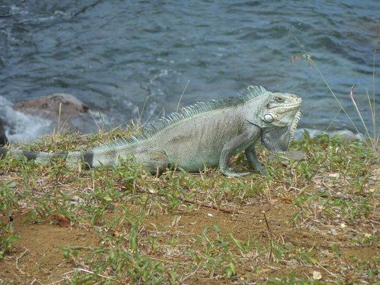 Route de la Traversee: Iguane à Pointe Noire