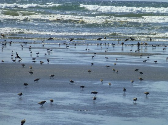 Shilo Inn Suites - Ocean Shores: Migrating shore birds on the beach