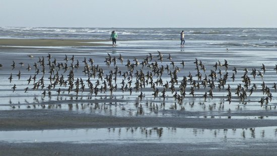 Shilo Inn Suites - Ocean Shores: Shore birds on beach in front of Shilo Resort hotel