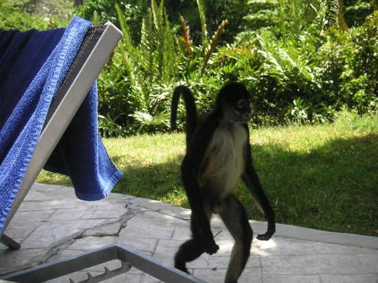 Sandos Caracol Eco Resort : A monkey walking by the pool