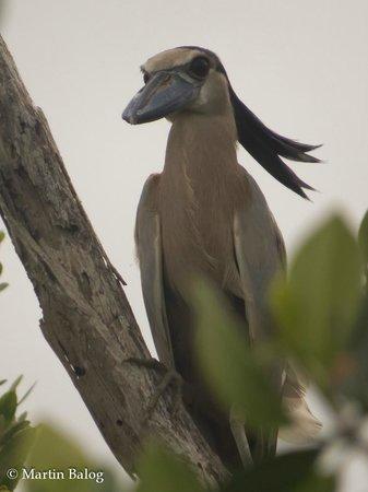 Rio Lagartos Adventures: Boat-billed Heron