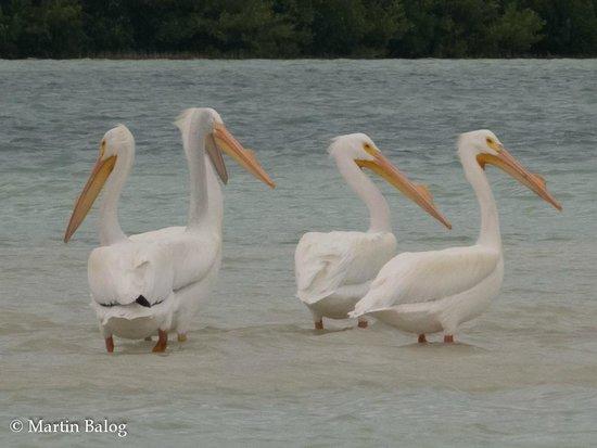 Rio Lagartos Adventures: American White Pelican