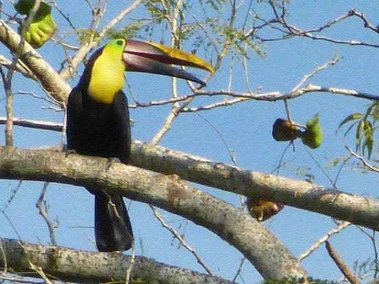 Diquis Del Sur : toucan le matin