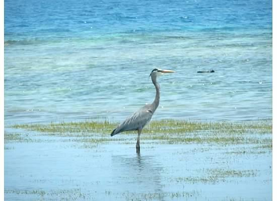 Hatchet Caye Resort: Wildlife
