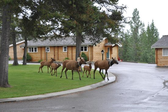 Jasper House Bungalows: elk parade through resort.  why go out looking for them