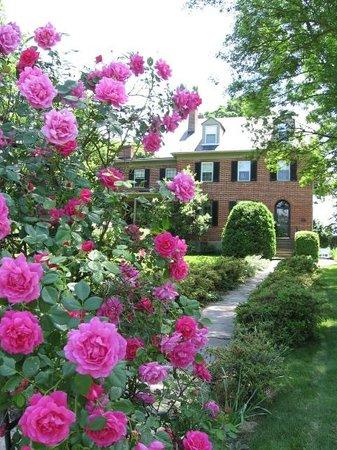 The Jackson Rose B & B: The Jackson Rose bush in full glory