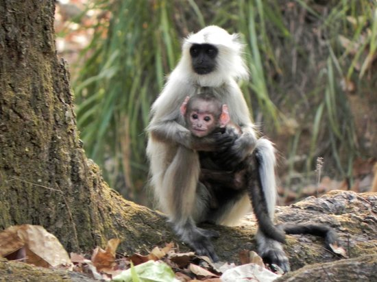 Kanha Jungle Lodge: Langer's Monkey with baby