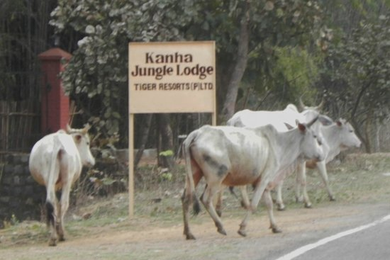 Kanha Jungle Lodge: Sacred Cows and Lodge sign