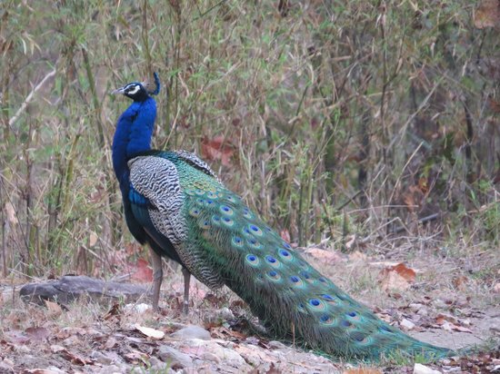 Kanha Jungle Lodge: Beautiful male Peacock