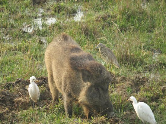 Kanha Jungle Lodge: Wild Boar and Egrets