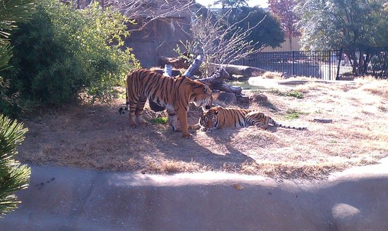 Tulsa Zoo: Tigers kissing