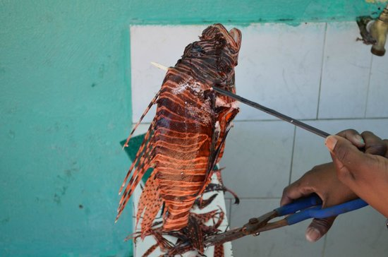Luxury Bahia Principe Runaway Bay Don Pablo Collection: Scuba guy caught a lionfish