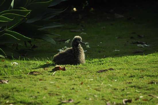 Best of Kauai Tour: Juvenile albatross