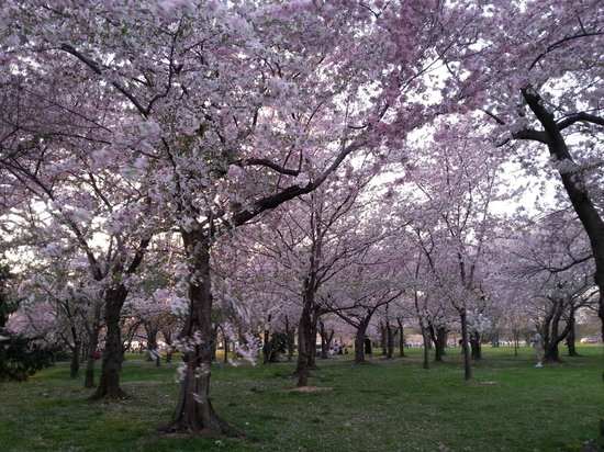 Tidal Basin: Cherry Blossoms in East Potomac Park