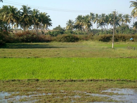 Benaulim Beach: The fields on the way to the beach.