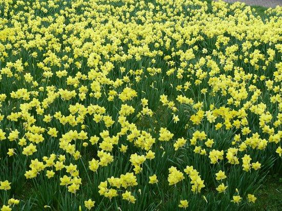 York City Walls: Daffodils on embankments.
