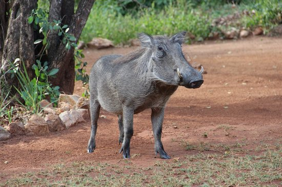 Royal Kruger Lodge: visiting warthog