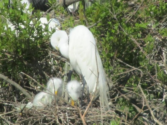 Cypress Wetlands: mother and her babies (White Egret)