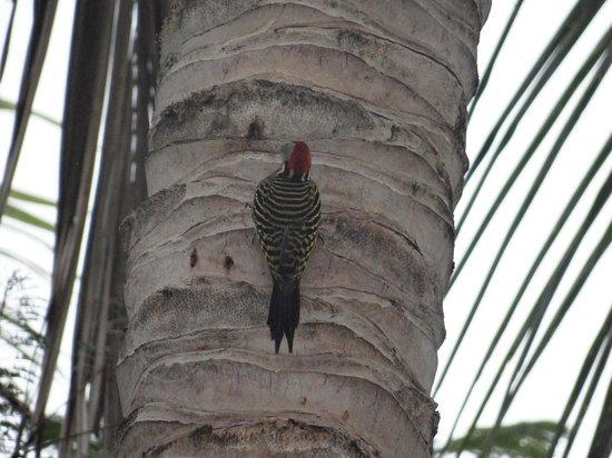 Hotel Oasis : infinidad de pájaros, aqui un pájaro carpintero