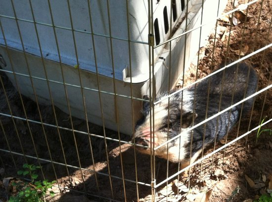 BlissWood Bed and Breakfast Ranch: Little Piggie