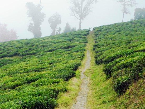 Temi Tea Garden.