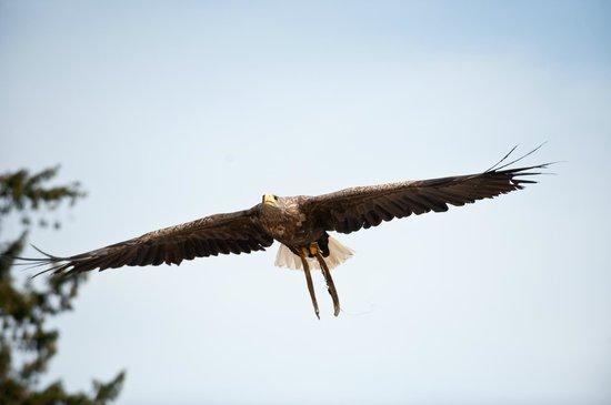 La Volerie des aigles: Pygargue à queue blanche