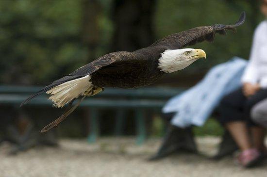 La Volerie des aigles: Pygargue à tête blanche