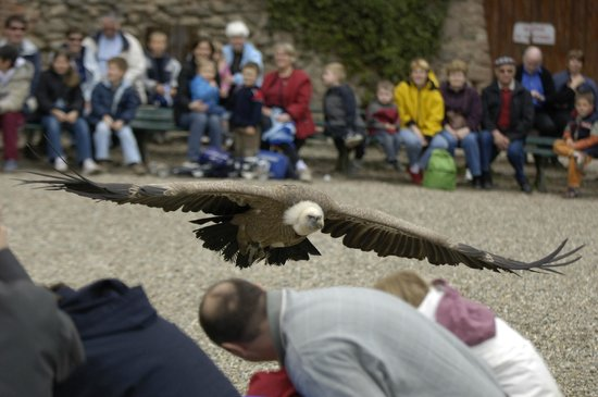 La Volerie des aigles: Vautour fauve en passage