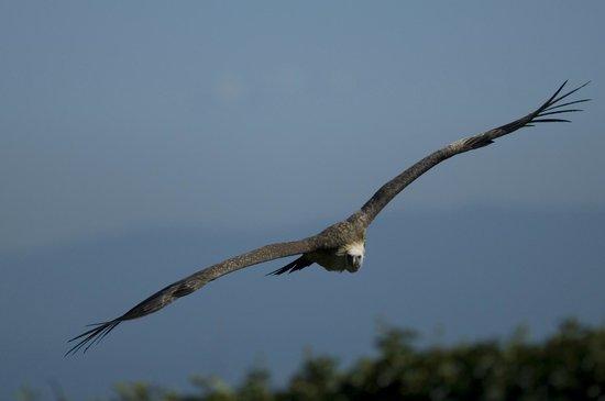 La Volerie des aigles: Vautour fauve en retour de la plaine