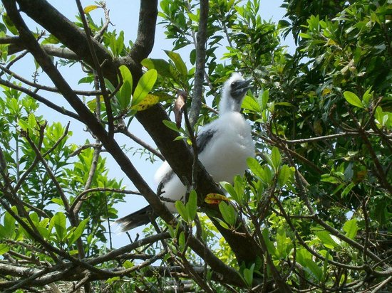 Turneffe Island Resort : Juvenile Red Footed Booby Bird