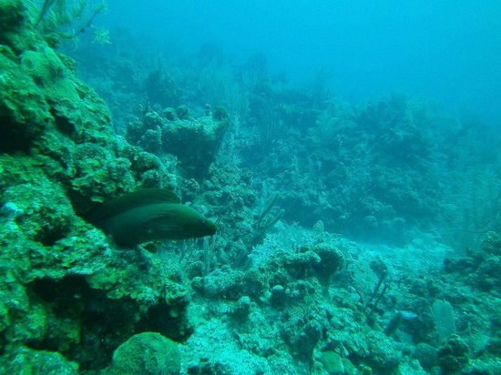 Turneffe Island Resort: Green Moray Eel