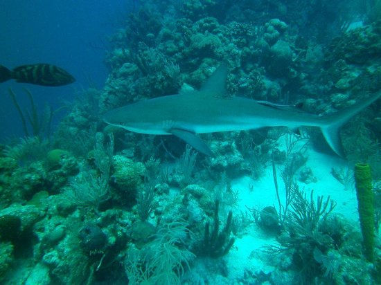 Turneffe Island Resort: Reef Shark