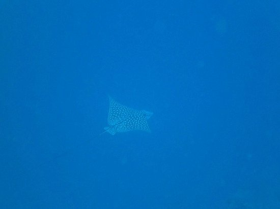 Turneffe Island Resort: Spotted Eagle Ray
