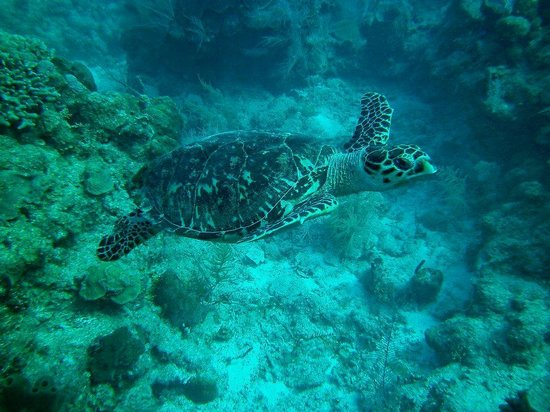 Turneffe Island Resort: Hawksbill Sea Turtle