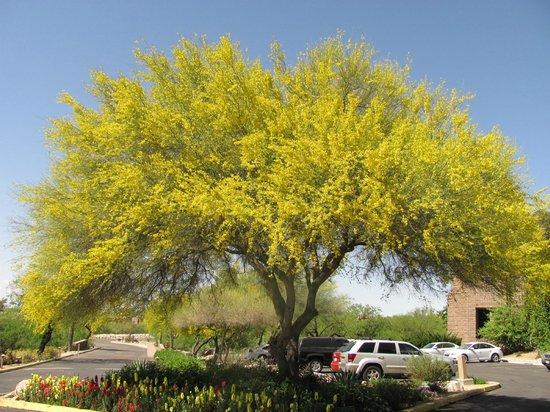 Loews Ventana Canyon Resort: Palo verde in front in bloom