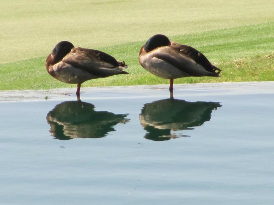 Loews Ventana Canyon Resort: dozing ducks