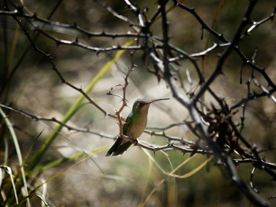 Patagonia-Sonoita Creek Preserve : Broad-billed Hummingbird