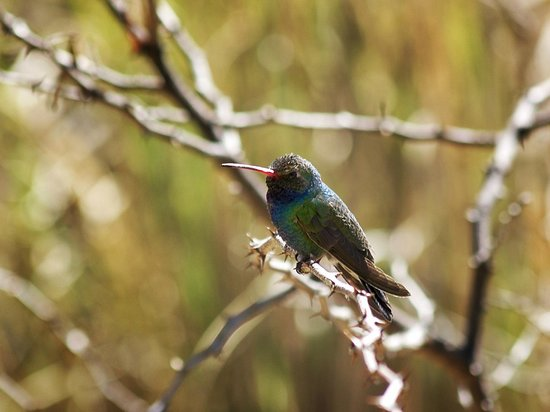 Patagonia-Sonoita Creek Preserve : Boad-billed hummingbird