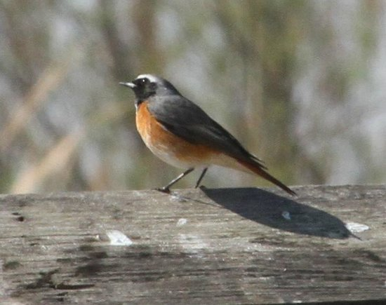 Valencia Birding Birdwatching Tours: One of the first birds we encountered... This was a redstart, IIRC