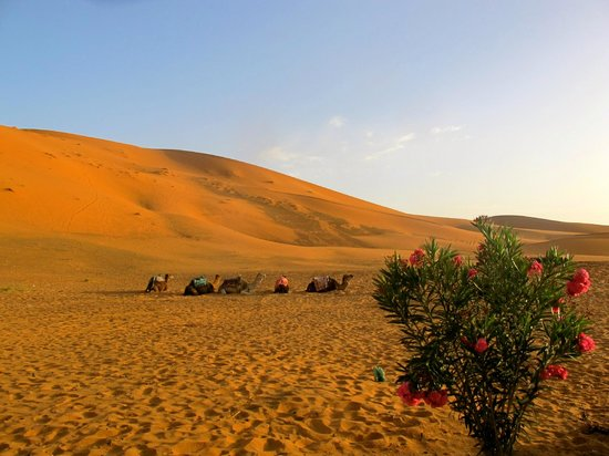 Auberge Dunes D'or: camels resting in the campground
