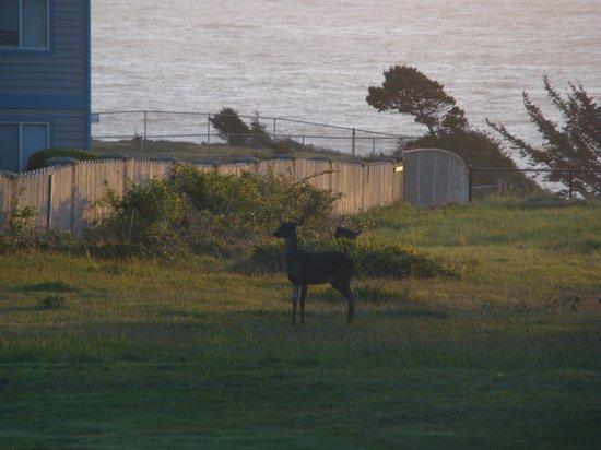 Spindrift Motor Inn: Deer grazing