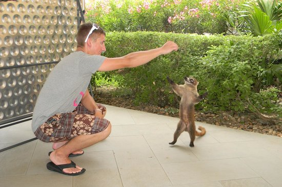 Iberostar Grand Hotel Paraiso: Feeding the wild coati