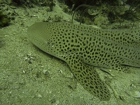 Santana Dive Center Phuket: Leopardenhai